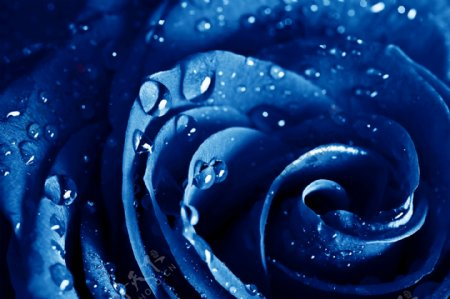 带有水珠的蓝玫瑰图片