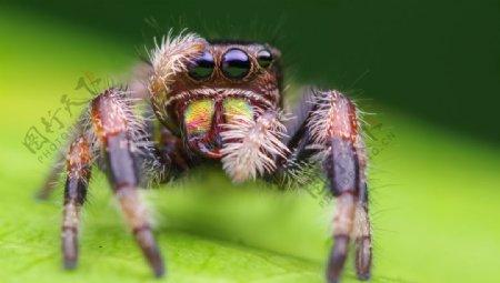 毛茸茸的蜘蛛