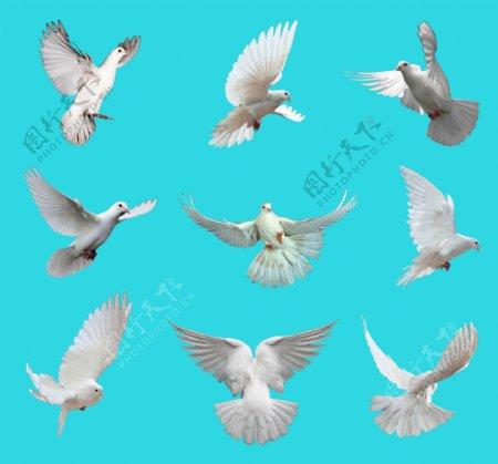 白鸽各种动态素材