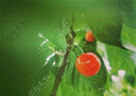 红色樱桃樱桃树