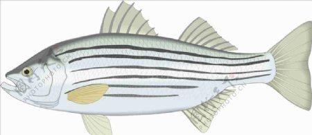 鲈鱼手绘矢量海洋鱼CDR