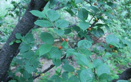 樱桃树图片照片五莲山樱桃园