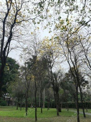 黄金铃花木树林