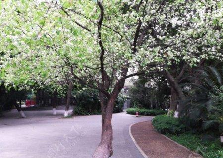 一棵开满白色小花的花树