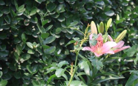 亚洲百合花图片