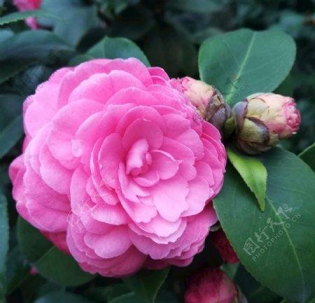 粉色山茶花图片