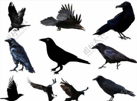乌鸦png免扣高清素材乌鸦pn图片