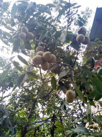 核桃树近景图片