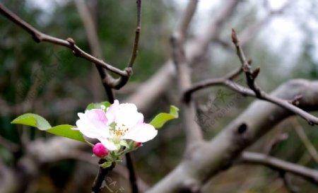 苹果树秋天开花图片