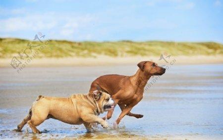 河边奔跑的两条狗狗图片