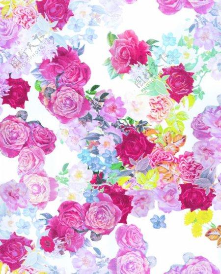 白底玫瑰花图片