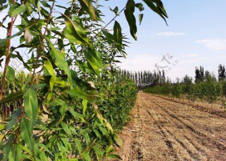 农田桃树图片