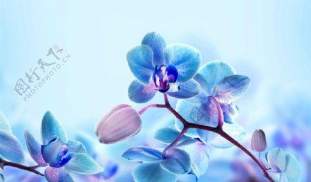 蓝色的兰花花瓣图片