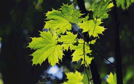 唯美枫叶枫树树叶绿色树叶图片
