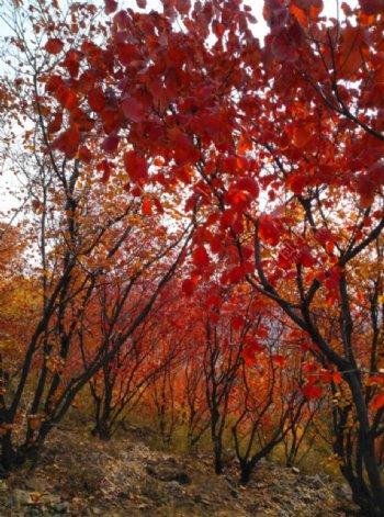 北京的枫叶图片