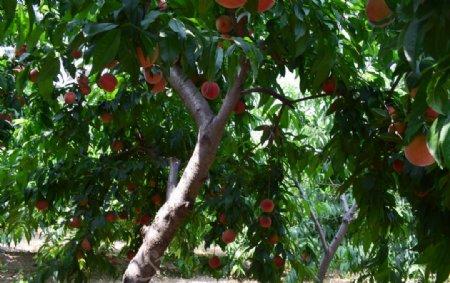 桃子满园图片