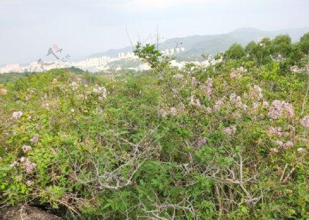 山里开紫薇花的图片