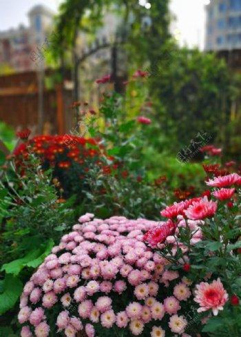 花卉小雏菊图片