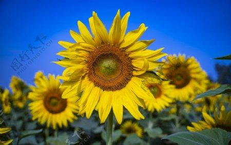 金色向日葵图片