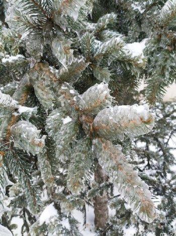 冻松树图片