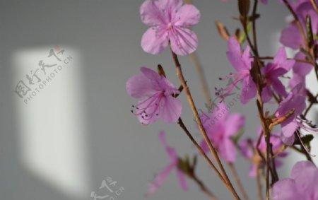 干枝杜鹃花图片