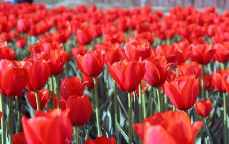 红色郁金香拍摄素材图片