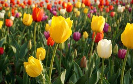 景物摄影郁金香花圃图片