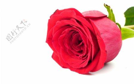 白底上的玫瑰花图片