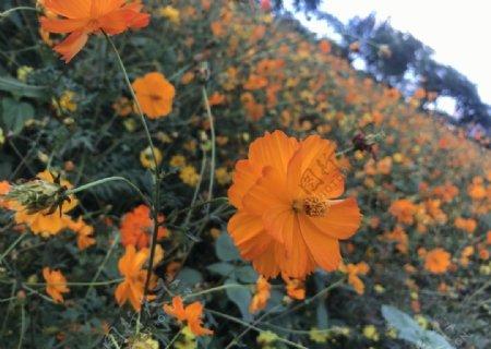 橙色花海图片