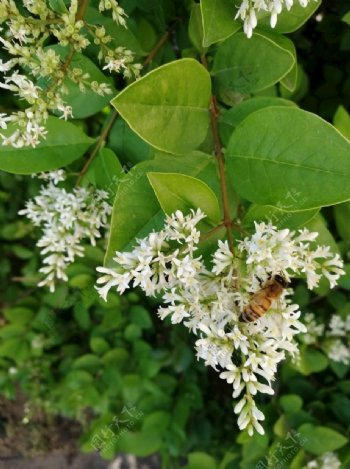 蜜蜂白花图片