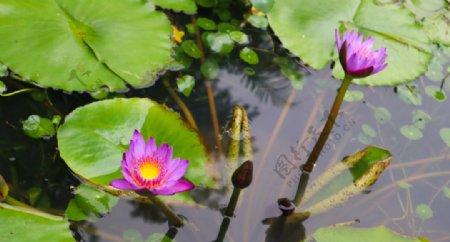 户外池塘里的荷花拍摄素材图片