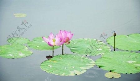 户外池塘里的荷花特写图片