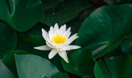 白色莲花特写图片