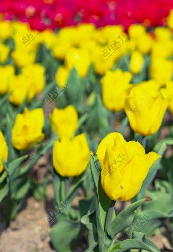 黄色郁金香高清大图图片