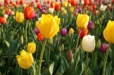 郁金香花圃图片