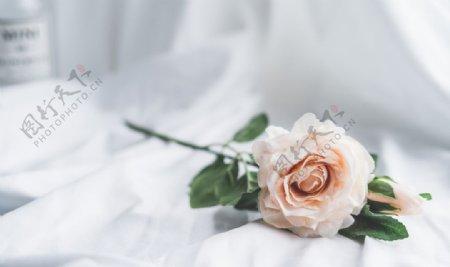 高清浅粉色玫瑰特写图片