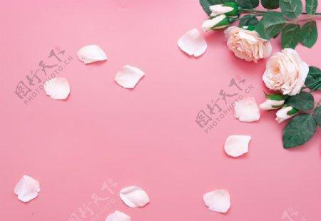 浪漫粉色玫瑰拍摄素材图片