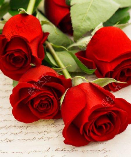 玫瑰花高清大图图片
