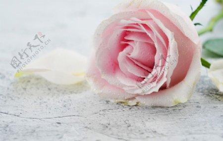 唯美粉色玫瑰特写图片