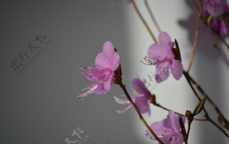 紫色干枝杜鹃花图片