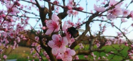 树枝上艳丽的桃花图片