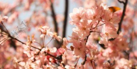 阳光下的垂丝海棠高清大图图片