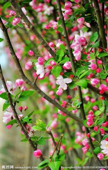 花卉桃花海棠花图片