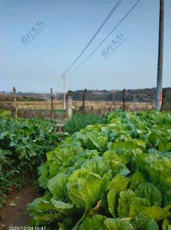 菜园的白菜图片