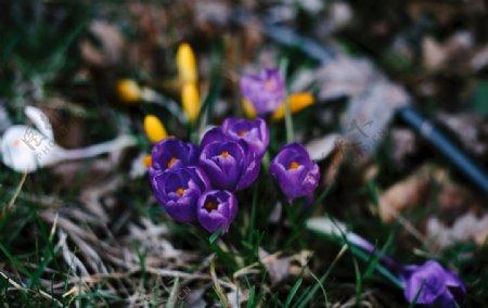 番红花图片