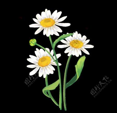 花洋甘菊花瓣图片