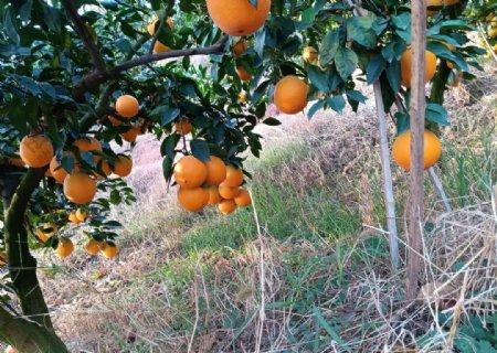 赣南脐橙图片