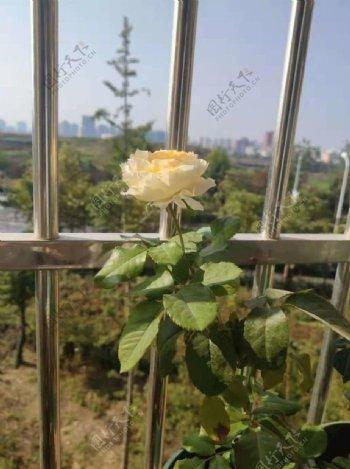 盛开的翠碧丝月季花图片
