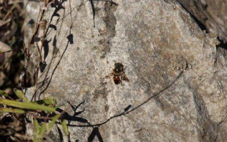 贴在石上的蜜蜂图片